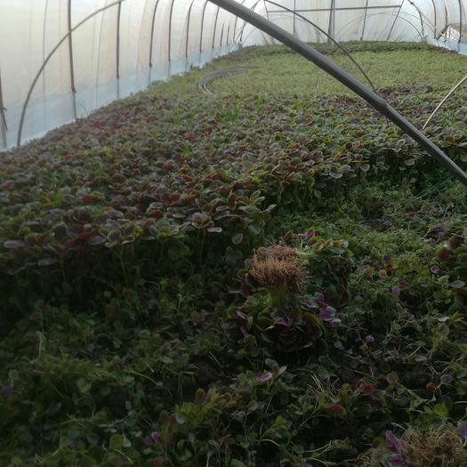 常州钟楼区红苋菜 15-20cm 紫红
