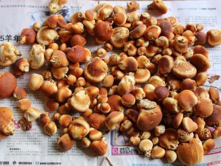 广东省广州市黄埔区干隐孔菌 袋装 1年以上