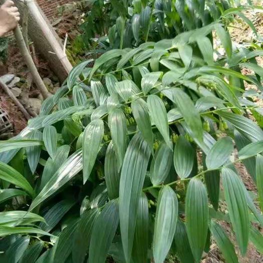 达州达川区姜形黄精 块 种苗