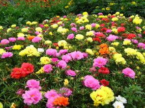 宿迁沭阳县太阳花种子 重瓣太阳花种子