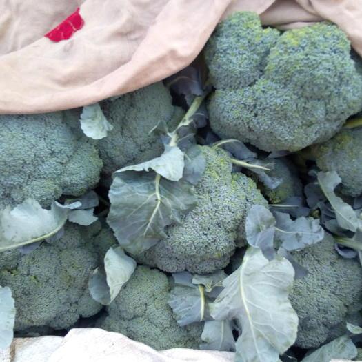 邯鄲綠皇后西蘭花 15~20cm 0.8~1.2斤
