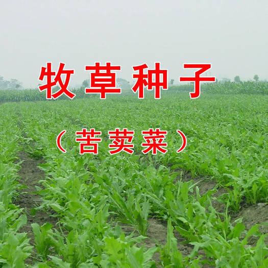 郓城县苦苣种子 苦荬菜小鹅菜