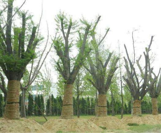 徐州邳州市 銀杏樹20-80公分,低價出售,量大從優