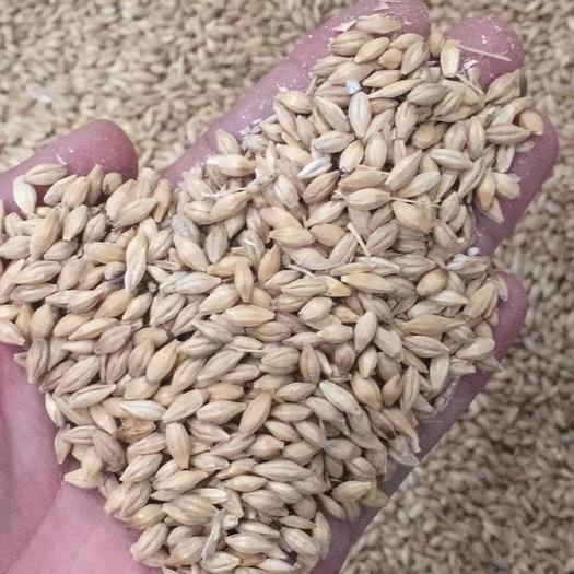 青島黃島區皮大麥 供應青島港加麥,酒曲,飼料用