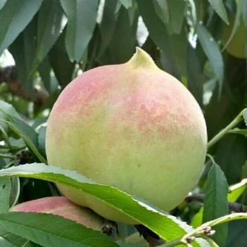 鹰嘴蜜桃苗 八至九月份上市晚熟品种