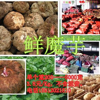魔芋种子 产地直供质优价廉脱毒处理