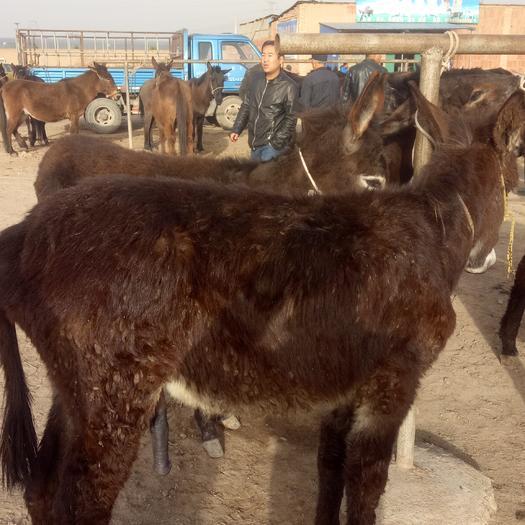 陇南礼县改良肉驴 500斤以上