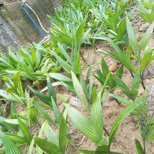 定安定安县槟榔种子