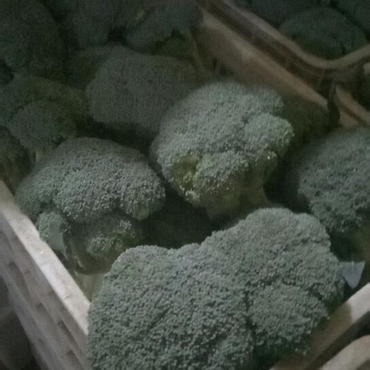 邯鄲耐寒優秀西蘭花 0.8~1.2斤 15~20cm