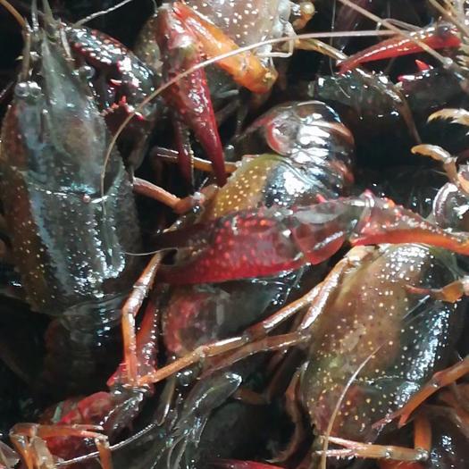 荆州监利县监利小龙虾 青壳虾456钱,品质好,底板干净。产地直供!