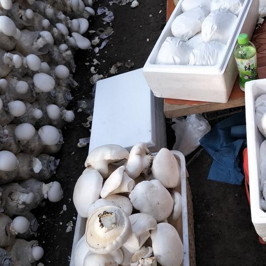 新疆维吾尔自治区乌鲁木齐市天山区白灵菇
