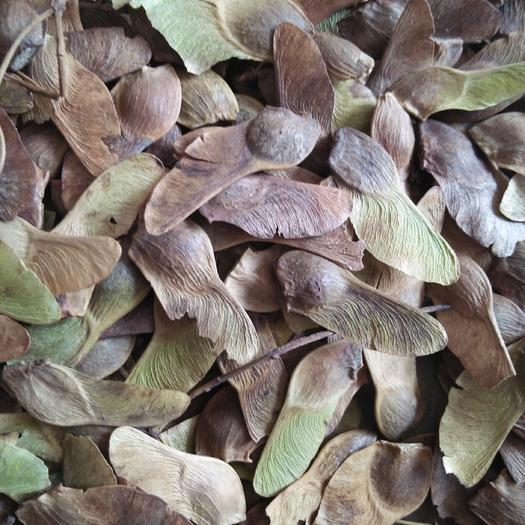 泰安枫树种子 五角枫种子 籽粒饱满  出芽率高