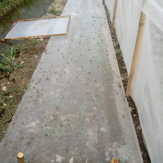 宜宾叙州区黑斑蛙蝌蚪