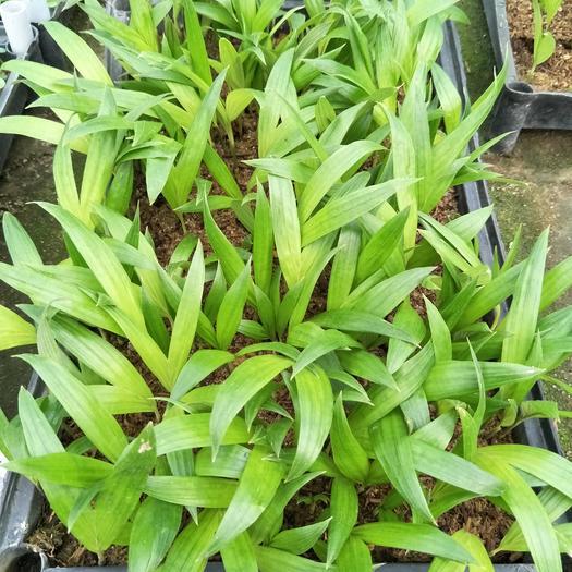 广州荔湾区槟榔种子  假槟种苗