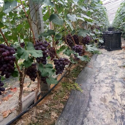 菏泽单县超早熟葡萄 1.5- 2斤 5%以下 1次果