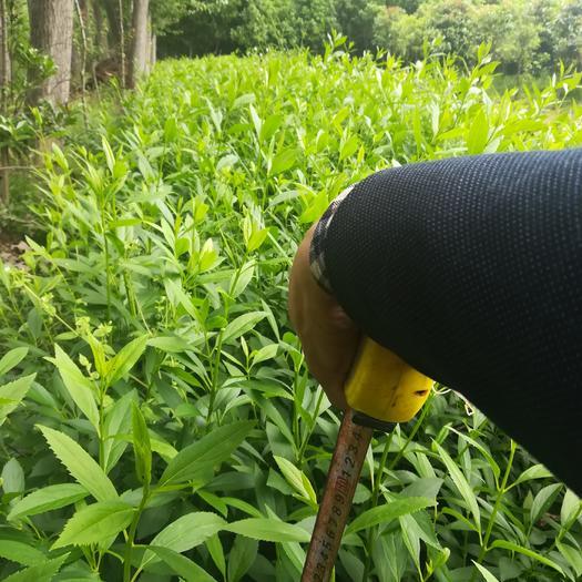 信阳光山县金叶连翘 二年移栽老苗,三十到五十公分高度。量大从优。