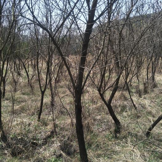 庆阳合水县文冠果树苗 1.5~2米