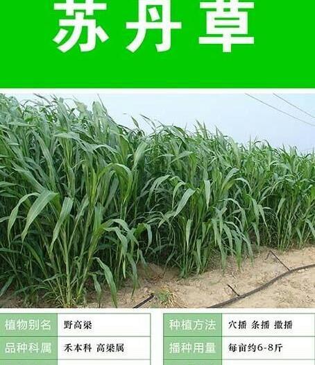 宿迁沭阳县 苏丹草种子,适合猪马牛羊鹅食用