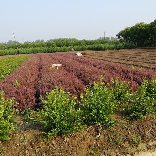 光山縣紅葉小檗 二年移栽老苗,三十到五十公分,量大質量保證。