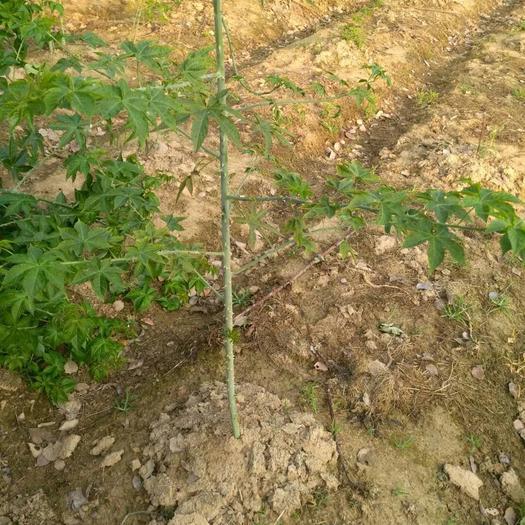 金华兰溪市覆盆子种苗