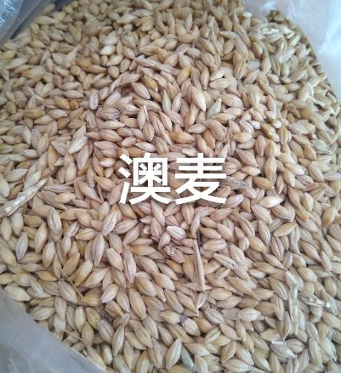 天津塘沽皮大麥 供應廣東港澳麥顏色好