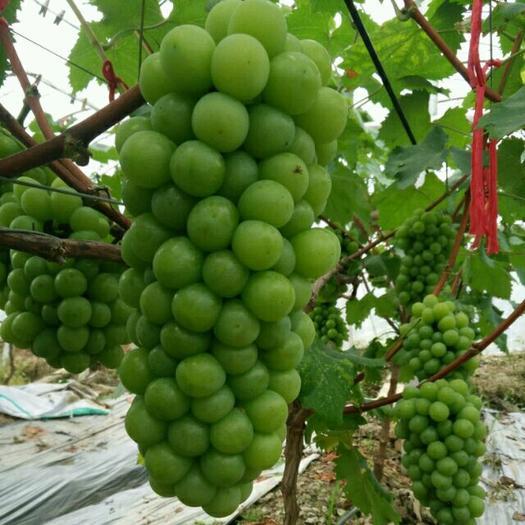 上海醉金香葡萄 预售大串大粒醉金香5万斤,成熟期7.20日。统货2-4斤窜。