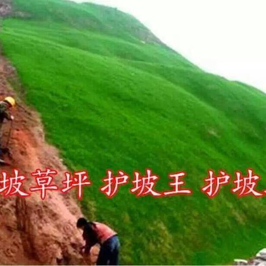 宿迁沭阳县高羊茅种子 护坡绿化美化环境一级耐寒护坡草坪高羊茅包衣种子