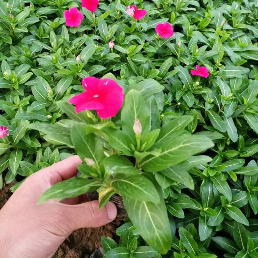 潍坊青州市长春花种子