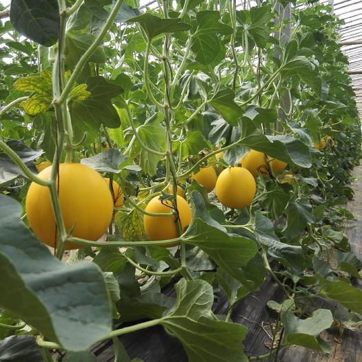 聊城莘縣久紅瑞甜瓜 久瑞紅香瓜 對接商超批發市場客戶,訂單種植