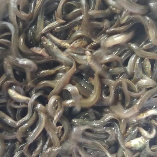 昭通鲁甸县台湾泥鳅苗 支持送货上门,货到付款量大从优,四川,云南,贵州,湖南,广西