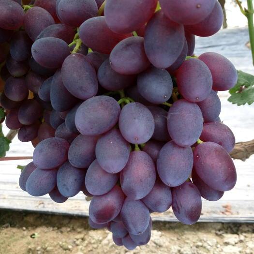 饶阳县黑芭拉多葡萄 5%以下 1次果 1-1.5斤