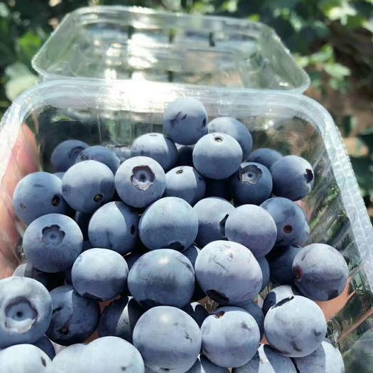 紅河石屏縣燦爛藍莓 10 - 12mm以上 鮮果