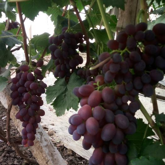饶阳县黑芭拉多葡萄 0.8-1斤 5%以下 1次果