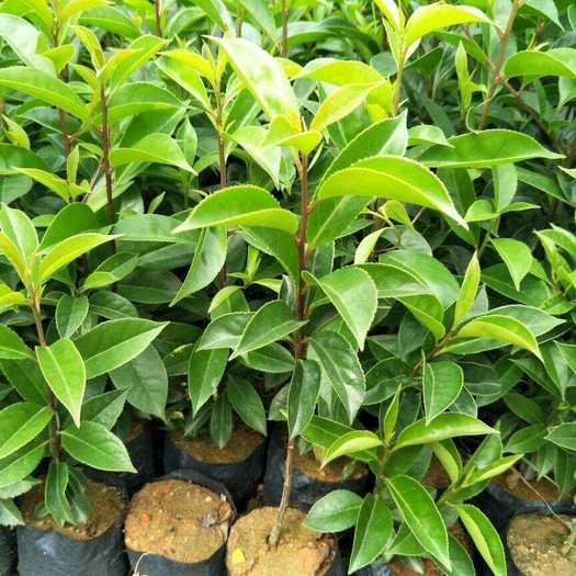 廣州荔灣區白銀樹 鐵冬青萬紫千紅園林綠化樹種