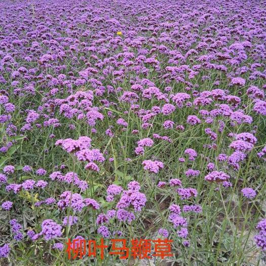 酒泉肃州区马鞭草种子