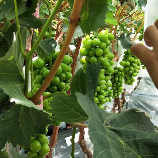 宾川县阳光玫瑰 5%以下 1次果 0.8-1斤