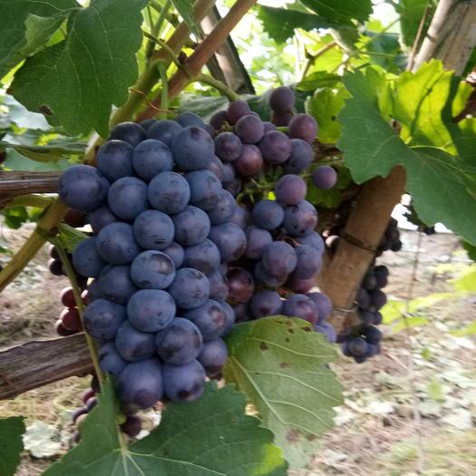 淮安黑芭拉多葡萄 0.8-1斤 5%以下 1次果