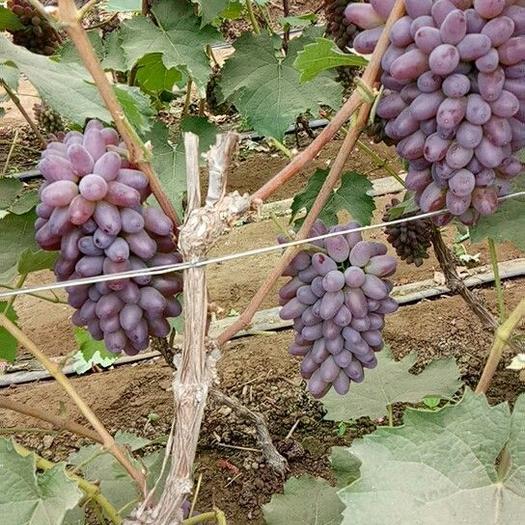 北镇市茉莉香葡萄 5%以下 1次果 0.8-1斤