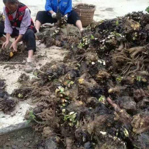 恩施土恩施市 供应大黄种苗芽头块茎马蹄大黄种子