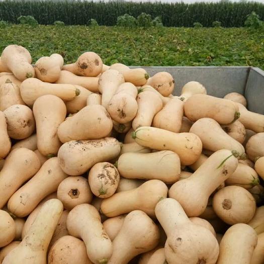 儋州儋州市奶油南瓜 1~2斤 长条形