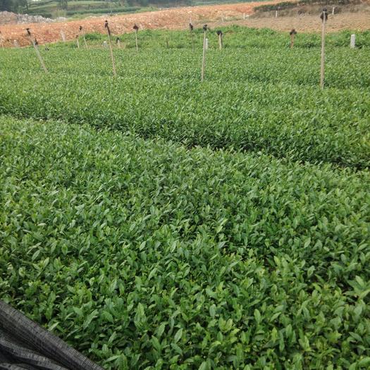 雅安无性系良种茶苗 独本苗 0.5~1米