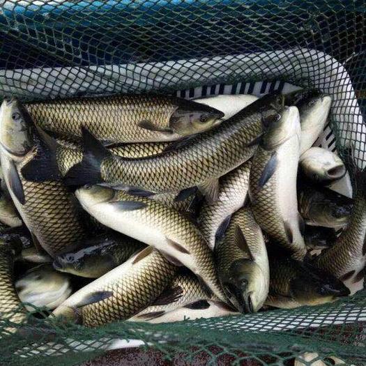 昆明 草鱼,成品草鱼,各种规格鱼苗,量大可以免费送货。