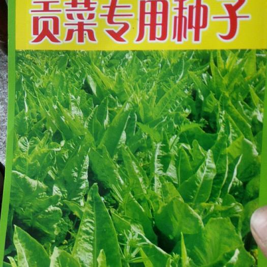 亳州涡阳县贡菜种子