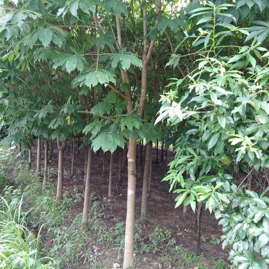 六安霍山縣七葉樹