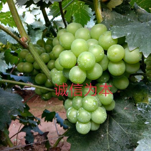 玉田县861葡萄 同价买好货,利润最大化