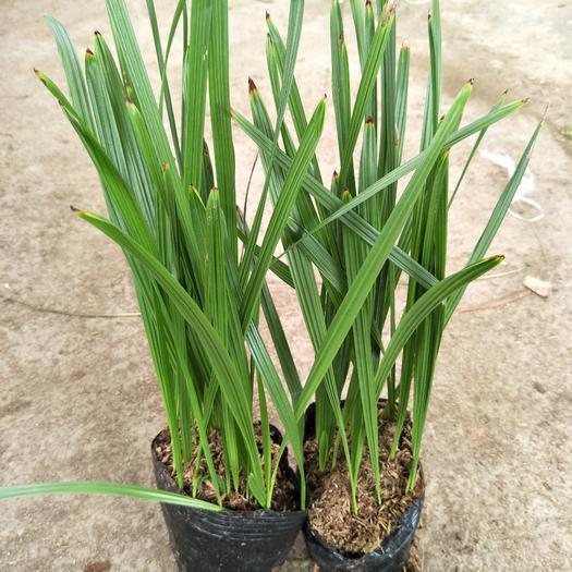 廣州中東海棗  棕櫚科植物
