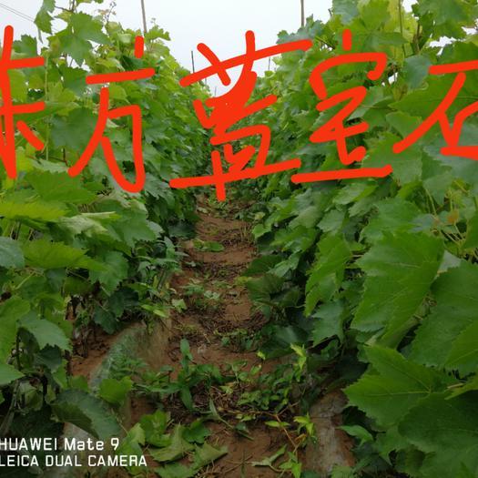 绥中县蓝宝石葡萄 甜蜜蓝宝石