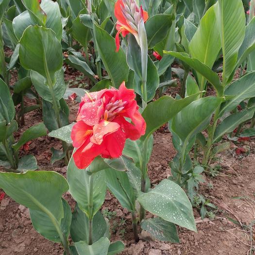 菏泽牡丹区美人蕉种子 大花美人蕉、矮株型优质品种