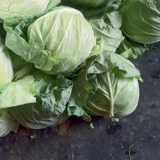 南阳新野县旺旺甘蓝 1.5~2.0斤