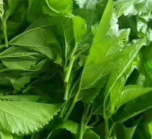 广东省广州市海珠区桑芽 5cm以下 人工种植